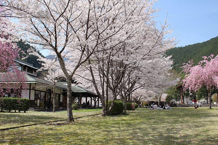 隠された穴場スポット!北山村おくとろ公園の桜
